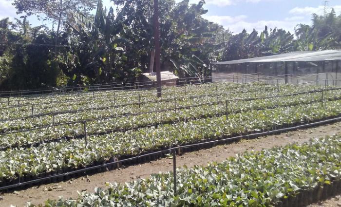 cultivo de la guayaba 1 1