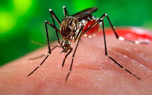 1 mosquito