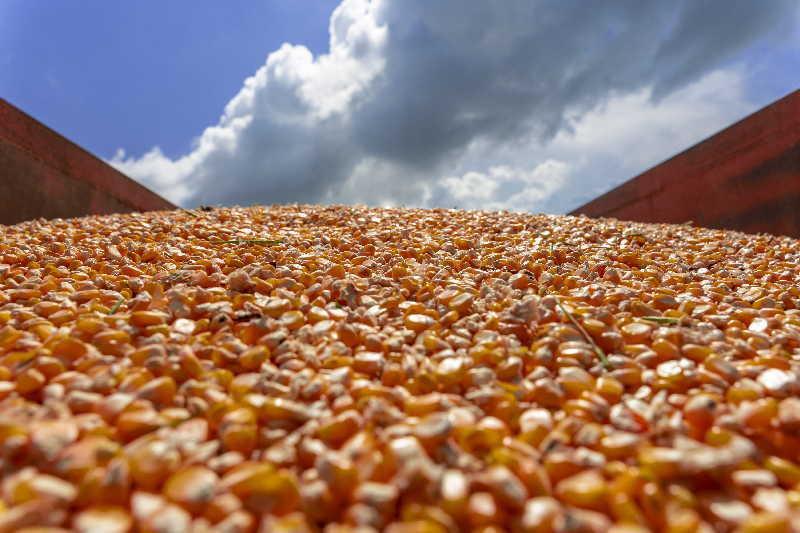 1 maiz hibrido 6932