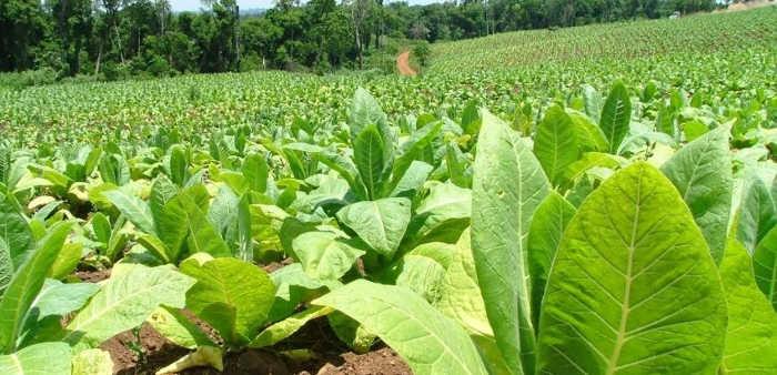3 tabaco plantacion